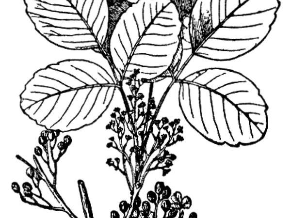 Pacific Poison Oak (Toxicodendron Diversilobum) https://www.sagebud.com/pacific-poison-oak-toxicodendron-diversilobum