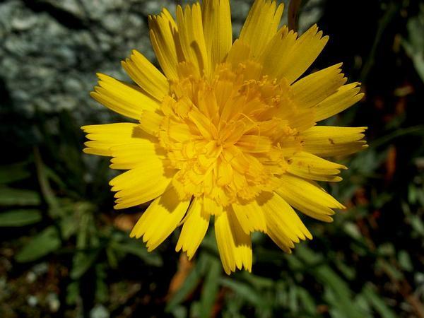 Umbrella Milkwort (Tolpis) https://www.sagebud.com/umbrella-milkwort-tolpis/