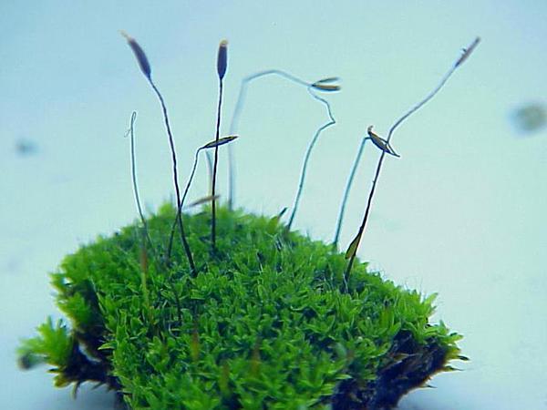 Tortula Moss (Tortula Muralis) https://www.sagebud.com/tortula-moss-tortula-muralis