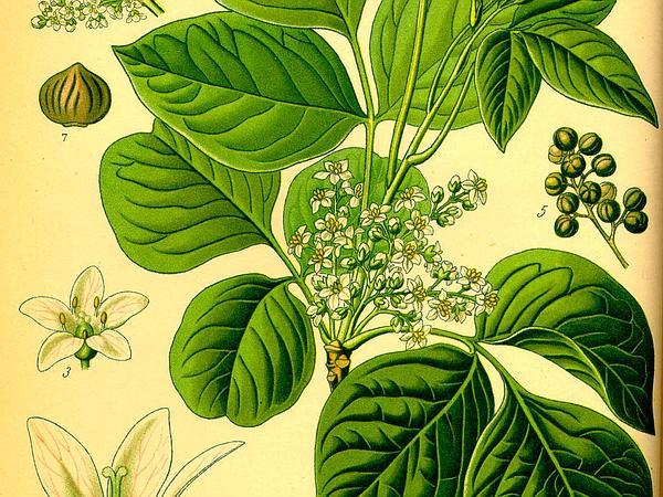 Atlantic Poison Oak (Toxicodendron Pubescens) https://www.sagebud.com/atlantic-poison-oak-toxicodendron-pubescens/