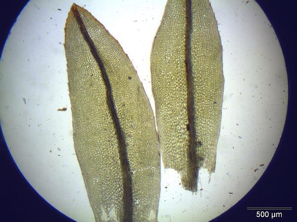 Tortula Moss (Tortula) https://www.sagebud.com/tortula-moss-tortula/
