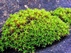 Tortula Moss