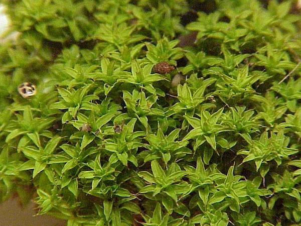 Tortula Moss (Tortula Ruralis) https://www.sagebud.com/tortula-moss-tortula-ruralis/