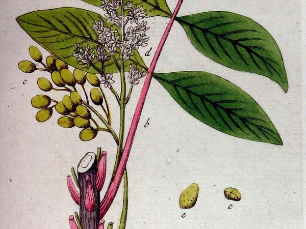 Poison Sumac (Toxicodendron Vernix) https://www.sagebud.com/poison-sumac-toxicodendron-vernix