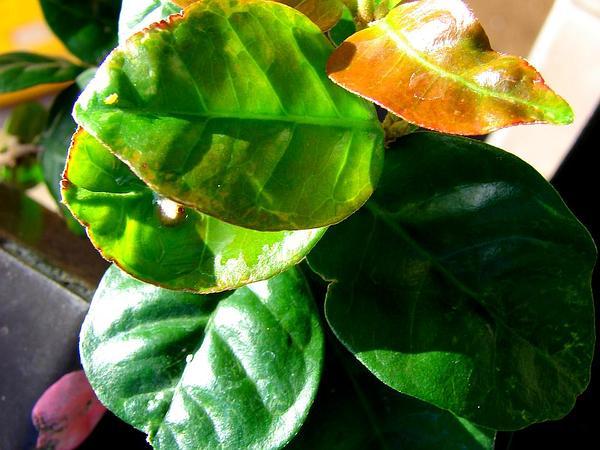 Trachelospermum (Trachelospermum) https://www.sagebud.com/trachelospermum-trachelospermum