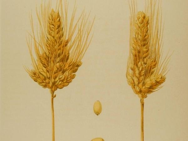 Common Wheat (Triticum Aestivum) https://www.sagebud.com/common-wheat-triticum-aestivum