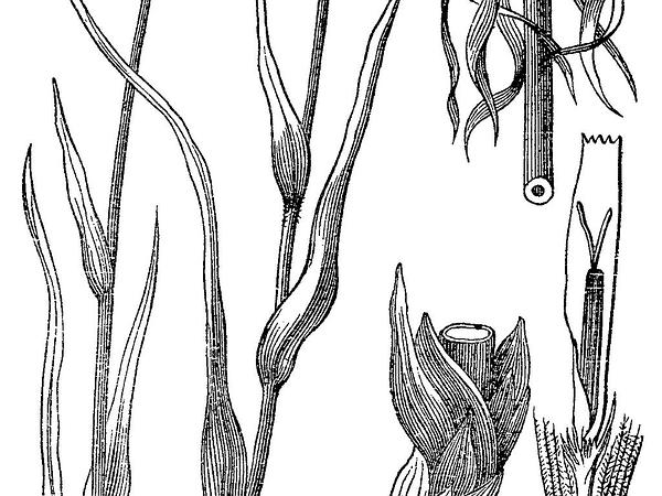 Goatsbeard (Tragopogon) https://www.sagebud.com/goatsbeard-tragopogon