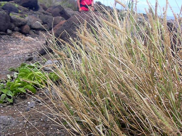Bur Grass (Tragus) https://www.sagebud.com/bur-grass-tragus