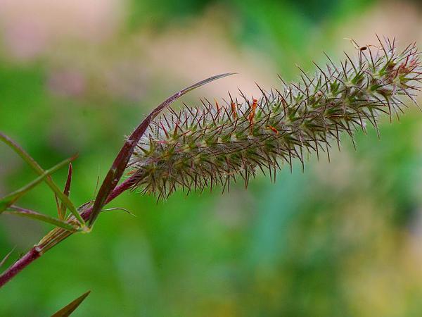 Narrowleaf Crimson Clover (Trifolium Angustifolium) https://www.sagebud.com/narrowleaf-crimson-clover-trifolium-angustifolium