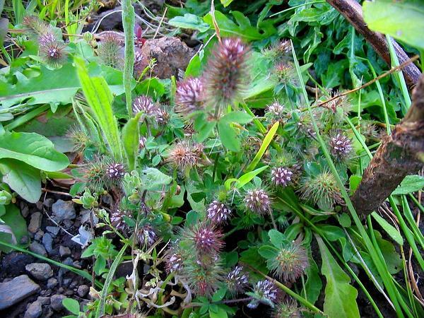 Rabbitfoot Clover (Trifolium Arvense) https://www.sagebud.com/rabbitfoot-clover-trifolium-arvense