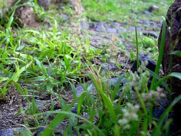 Spiked Bur Grass (Tragus Berteronianus) https://www.sagebud.com/spiked-bur-grass-tragus-berteronianus