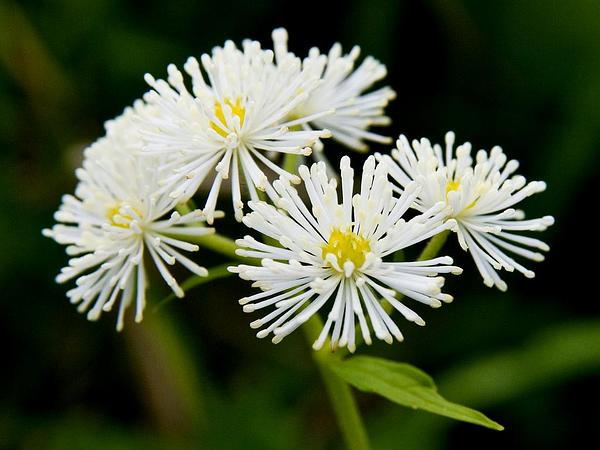 Carolina Bugbane (Trautvetteria Caroliniensis) https://www.sagebud.com/carolina-bugbane-trautvetteria-caroliniensis