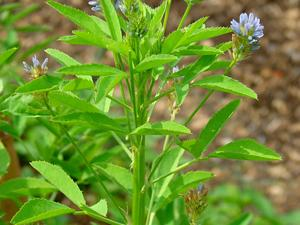 Blue Fenugreek
