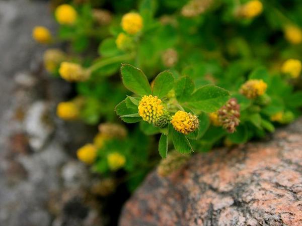 Field Clover (Trifolium Campestre) https://www.sagebud.com/field-clover-trifolium-campestre