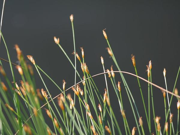 Tufted Bulrush (Trichophorum Cespitosum) https://www.sagebud.com/tufted-bulrush-trichophorum-cespitosum