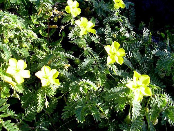 Jamaican Feverplant (Tribulus Cistoides) https://www.sagebud.com/jamaican-feverplant-tribulus-cistoides/