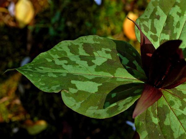 Little Sweet Betsy (Trillium Cuneatum) https://www.sagebud.com/little-sweet-betsy-trillium-cuneatum