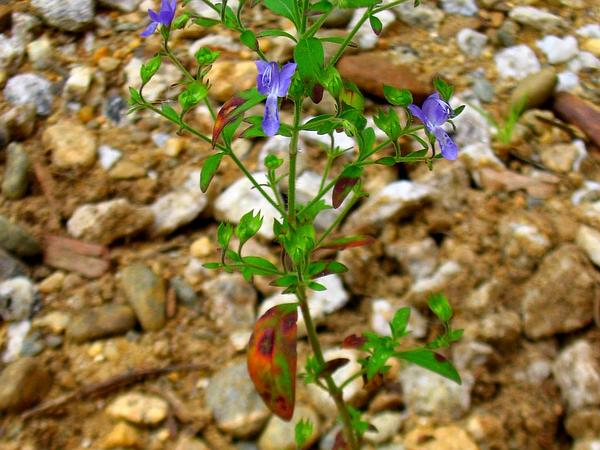 Forked Bluecurls (Trichostema Dichotomum) https://www.sagebud.com/forked-bluecurls-trichostema-dichotomum