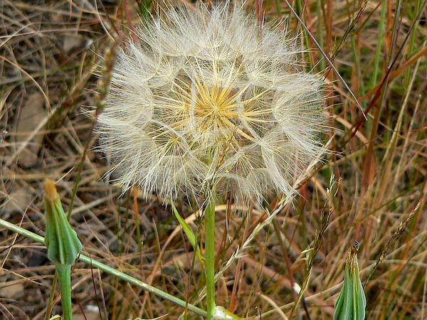 Yellow Salsify (Tragopogon Dubius) https://www.sagebud.com/yellow-salsify-tragopogon-dubius