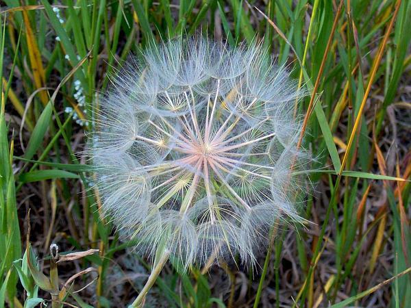Yellow Salsify (Tragopogon Dubius) https://www.sagebud.com/yellow-salsify-tragopogon-dubius/