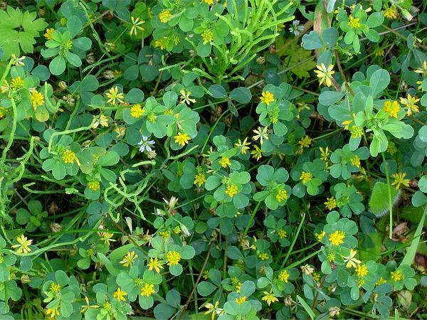 Suckling Clover (Trifolium Dubium) https://www.sagebud.com/suckling-clover-trifolium-dubium
