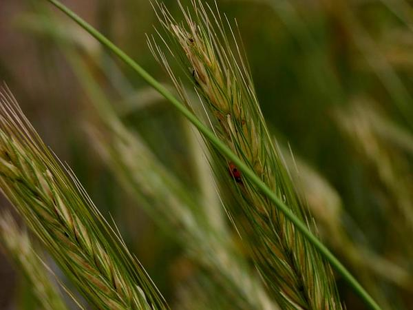 Durum Wheat (Triticum Durum) https://www.sagebud.com/durum-wheat-triticum-durum/