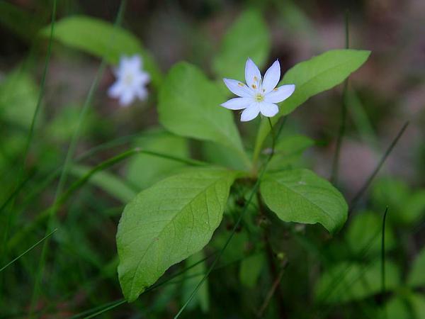 Arctic Starflower (Trientalis Europaea) https://www.sagebud.com/arctic-starflower-trientalis-europaea