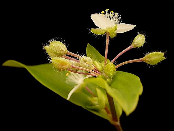 Small-Leaf Spiderwort (Tradescantia Fluminensis) https://www.sagebud.com/small-leaf-spiderwort-tradescantia-fluminensis/