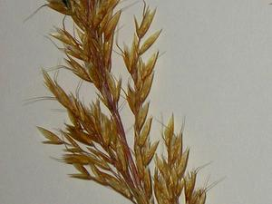 Yellow Oatgrass