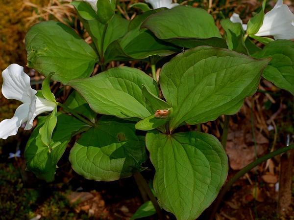 White Trillium (Trillium Grandiflorum) https://www.sagebud.com/white-trillium-trillium-grandiflorum