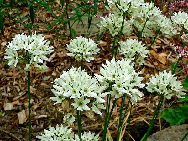 White Brodiaea (Triteleia Hyacinthina) https://www.sagebud.com/white-brodiaea-triteleia-hyacinthina