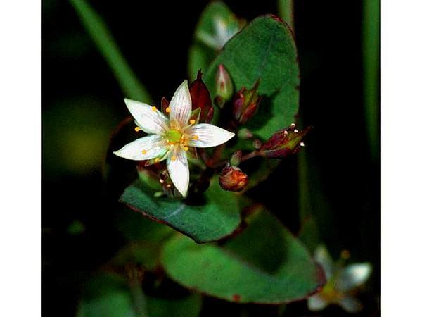 Marsh St. Johnswort (Triadenum) https://www.sagebud.com/marsh-st-johnswort-triadenum