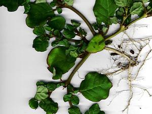 Trianthema