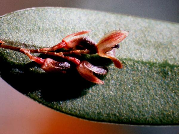 Bonnet Orchid (Trichosalpinx) https://www.sagebud.com/bonnet-orchid-trichosalpinx
