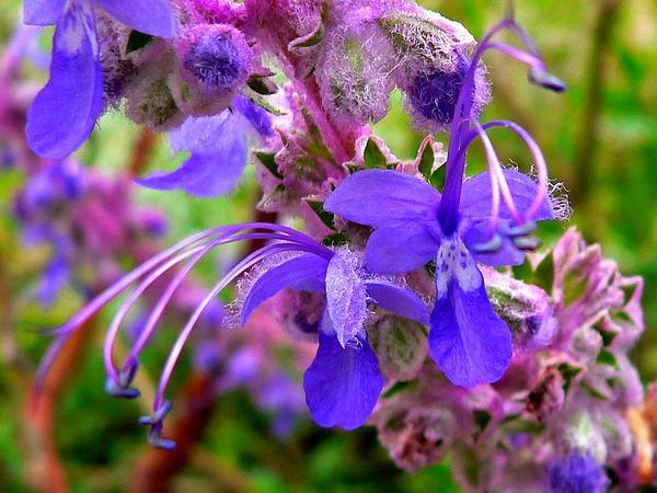 Bluecurls (Trichostema) https://www.sagebud.com/bluecurls-trichostema