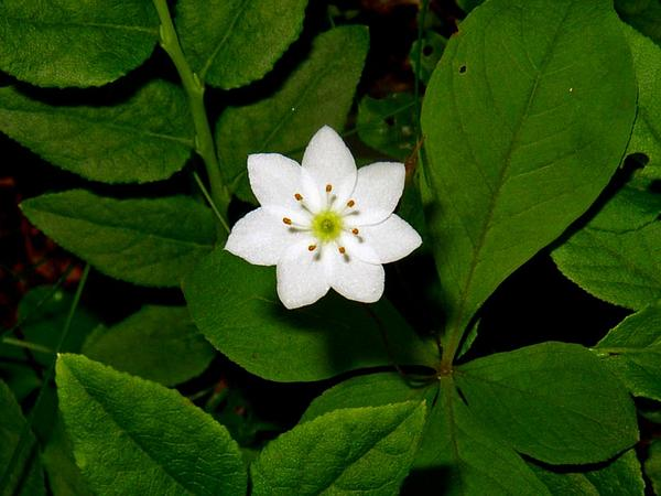 Starflower (Trientalis) https://www.sagebud.com/starflower-trientalis