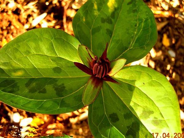 Trillium (Trillium) https://www.sagebud.com/trillium-trillium