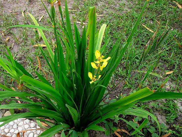 Trimezia (Trimezia) https://www.sagebud.com/trimezia-trimezia/