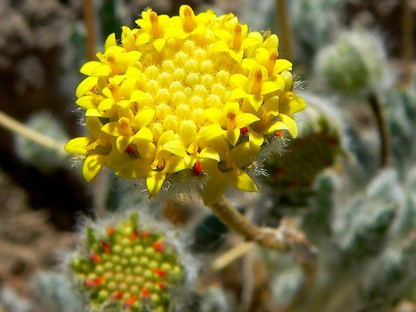 Yellowdome (Trichoptilium Incisum) https://www.sagebud.com/yellowdome-trichoptilium-incisum