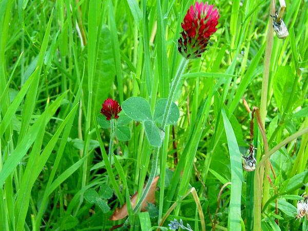 Crimson Clover (Trifolium Incarnatum) https://www.sagebud.com/crimson-clover-trifolium-incarnatum