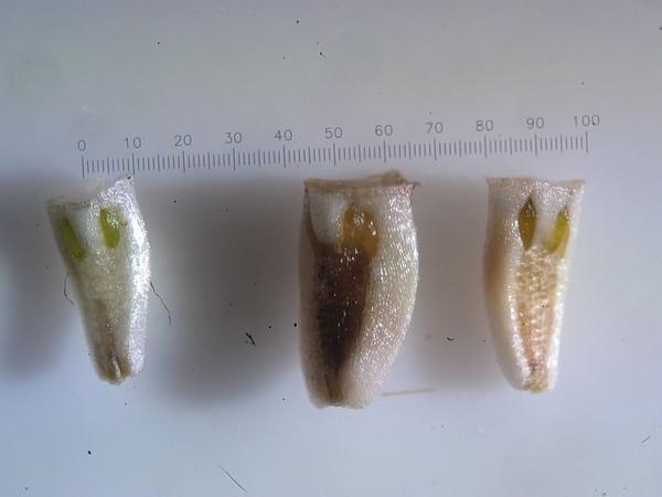 Mayweed (Tripleurospermum) https://www.sagebud.com/mayweed-tripleurospermum