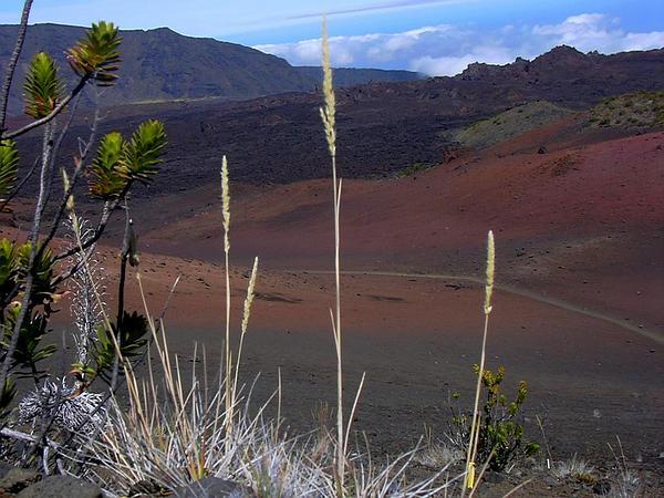 Oatgrass (Trisetum) https://www.sagebud.com/oatgrass-trisetum