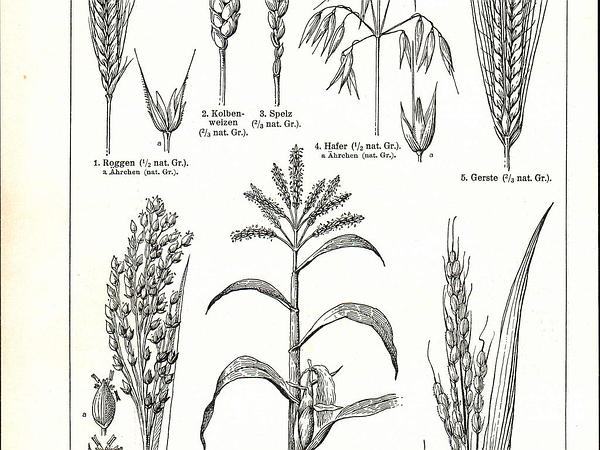 Wheat (Triticum) https://www.sagebud.com/wheat-triticum