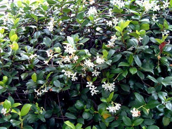 Confederate Jasmine (Trachelospermum Jasminoides) https://www.sagebud.com/confederate-jasmine-trachelospermum-jasminoides