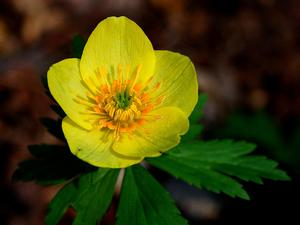 American Globeflower