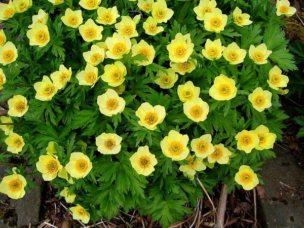American Globeflower (Trollius Laxus) https://www.sagebud.com/american-globeflower-trollius-laxus