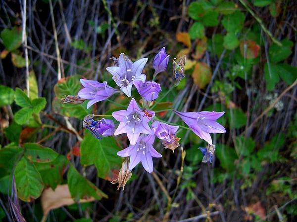 Ithuriel's Spear (Triteleia Laxa) https://www.sagebud.com/ithuriels-spear-triteleia-laxa/