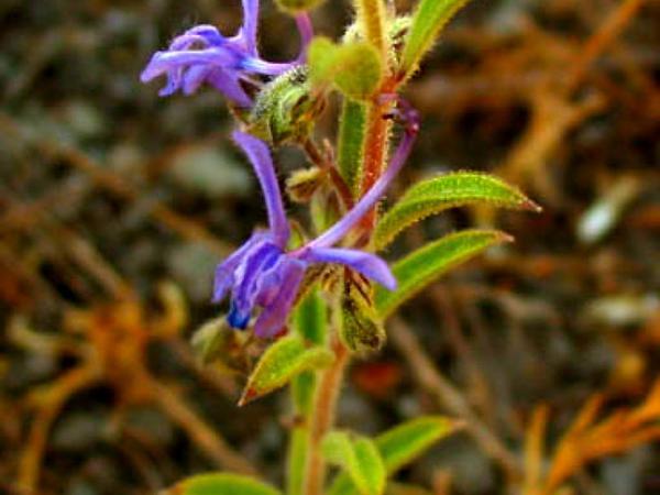 Vinegarweed (Trichostema Lanceolatum) https://www.sagebud.com/vinegarweed-trichostema-lanceolatum/