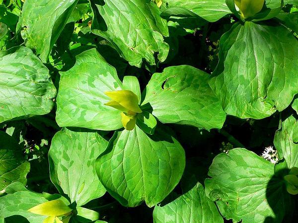 Yellow Wakerobin (Trillium Luteum) https://www.sagebud.com/yellow-wakerobin-trillium-luteum