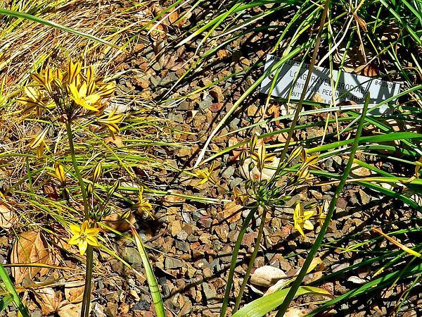 Coast Range Triteleia (Triteleia Lugens) https://www.sagebud.com/coast-range-triteleia-triteleia-lugens